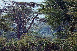 La forêt primaire de Nyungwe , Rwanda