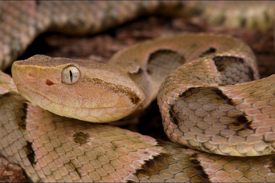 La faune et la flore, sainte-Lucie, île, caraïbes, antilles, faune, animal, reptile, serpent, vipère, crotal