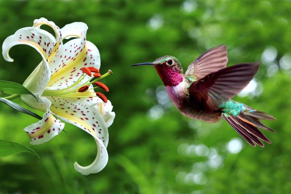 La faune et la flore, sainte-Lucie, île, caraïbes, antilles, faune, animal, colibri, oiseau