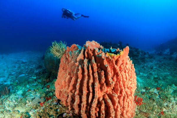 La faune et la flore, Caraïbes, Antilles, animal, faune, sous-marine, éponge, plongée, plongeur, sport