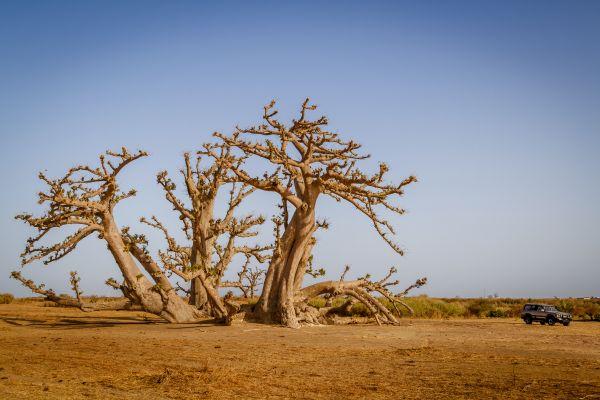 Les paysages, Sénégal, désert, ferlo, afrique, 4x4, voiture, transport, arbre, baobab