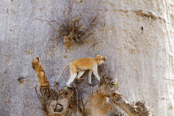 Les paysages, Sénégal, désert, ferlo, afrique, primate, singe, patas, animal, faune, arbre, baobab