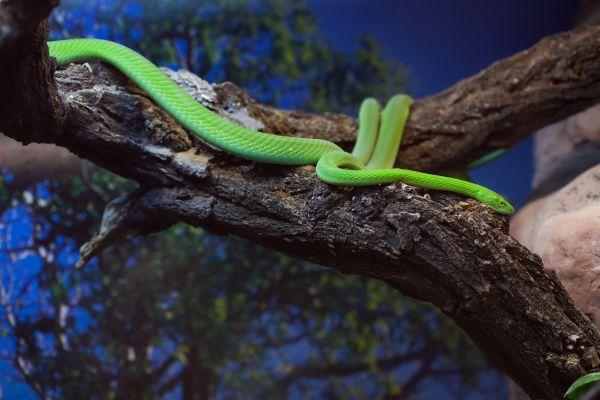 Les paysages, Sénégal, désert, ferlo, afrique, faune, serpent, mamba, reptile