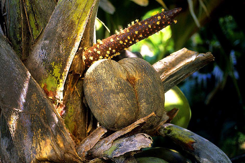 La Vallée de Mai (Praslin) , Le coco-fesse , Seychelles