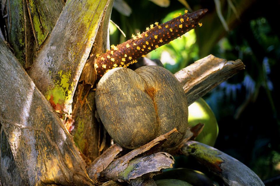 Las plantas , El coco de mar , Las Seychelles