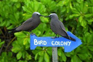 Les oiseaux , Brown Noddy à Bird Island , Seychelles