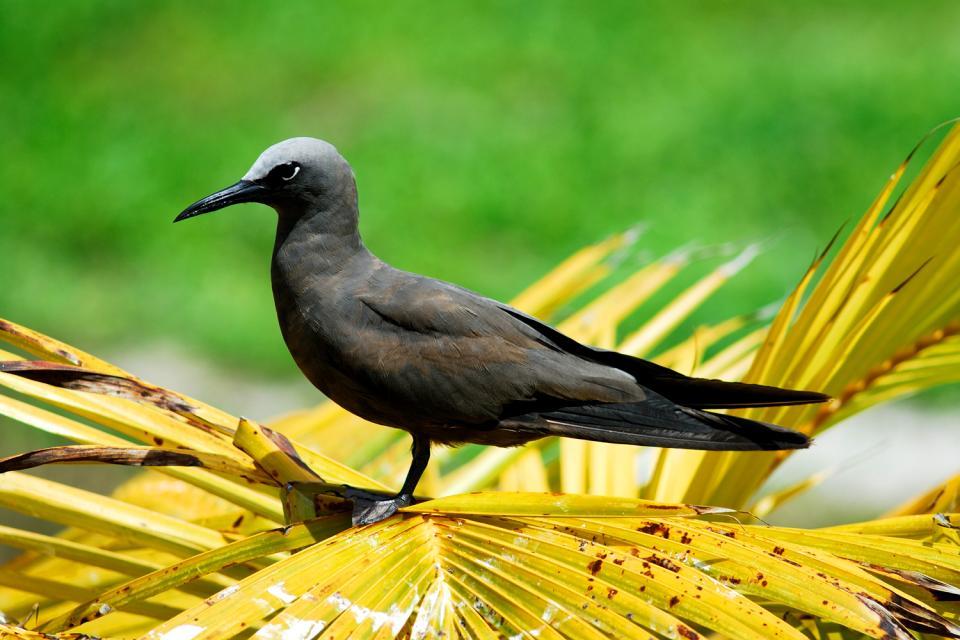 Gli uccelli , Noddi Brun (Brown Noddy) , Seychelles