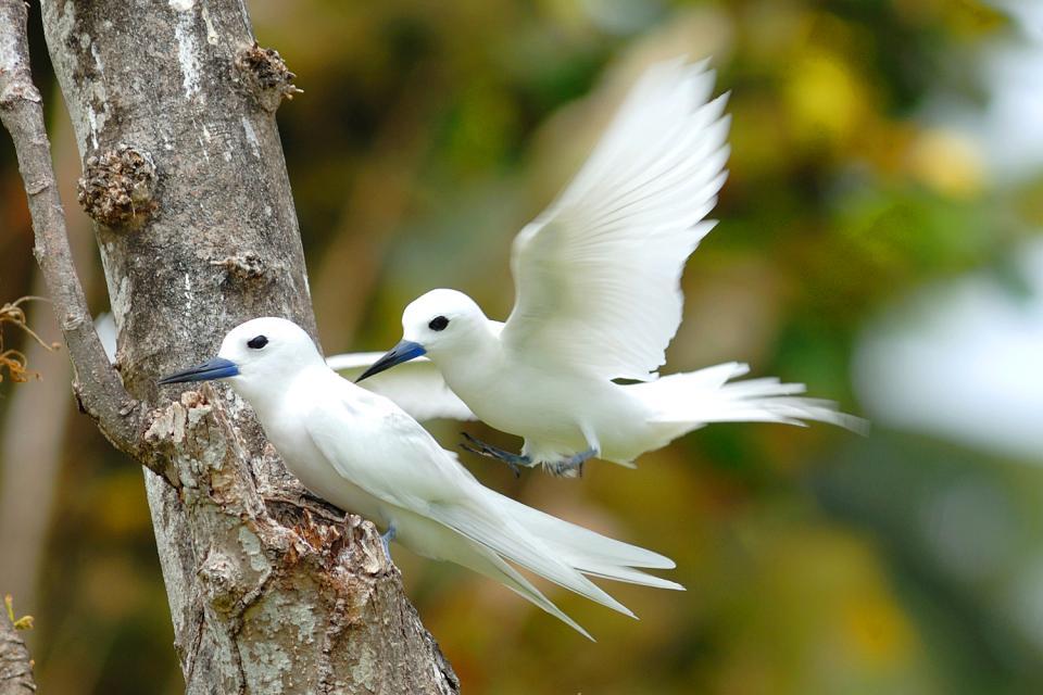 Gli uccelli , La Sterna delle fate , Seychelles