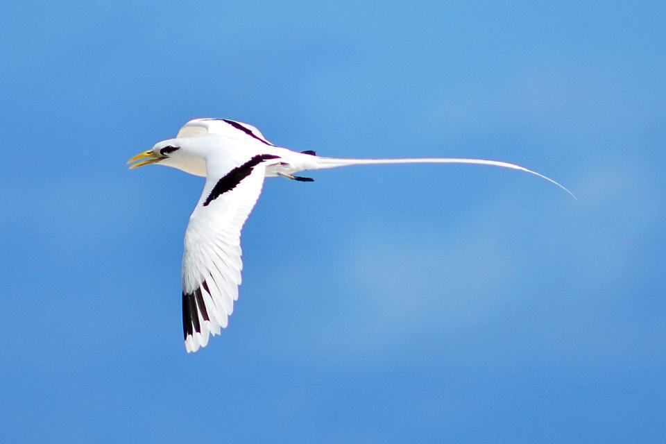 Gli uccelli , Le fregata , Seychelles