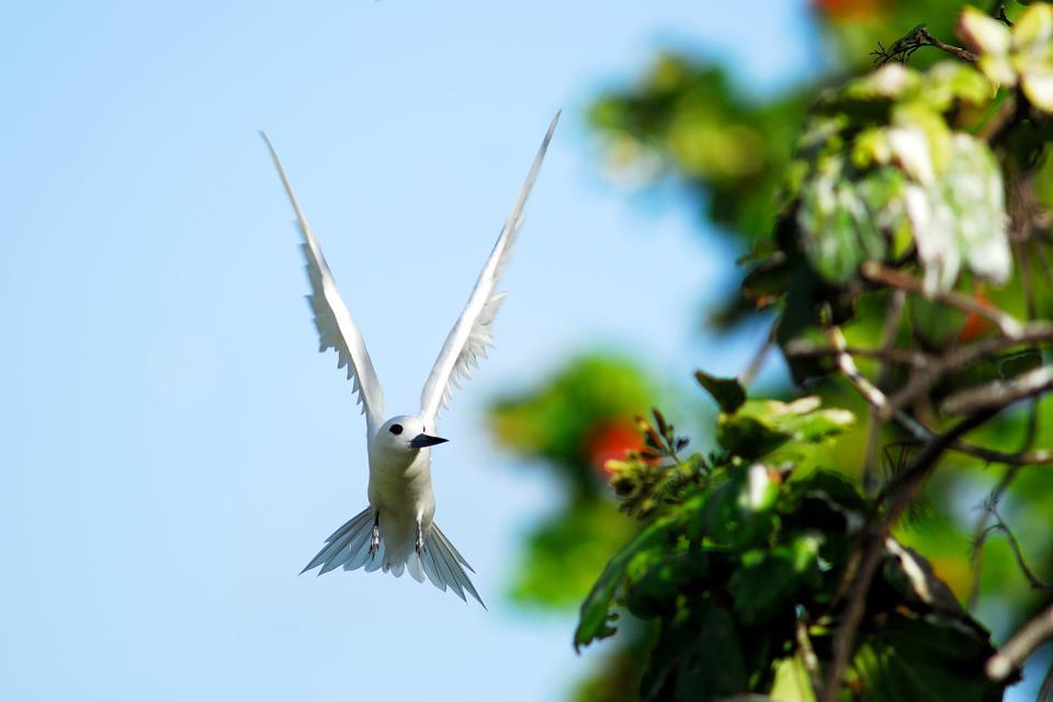 Gli uccelli , La sterna , Seychelles