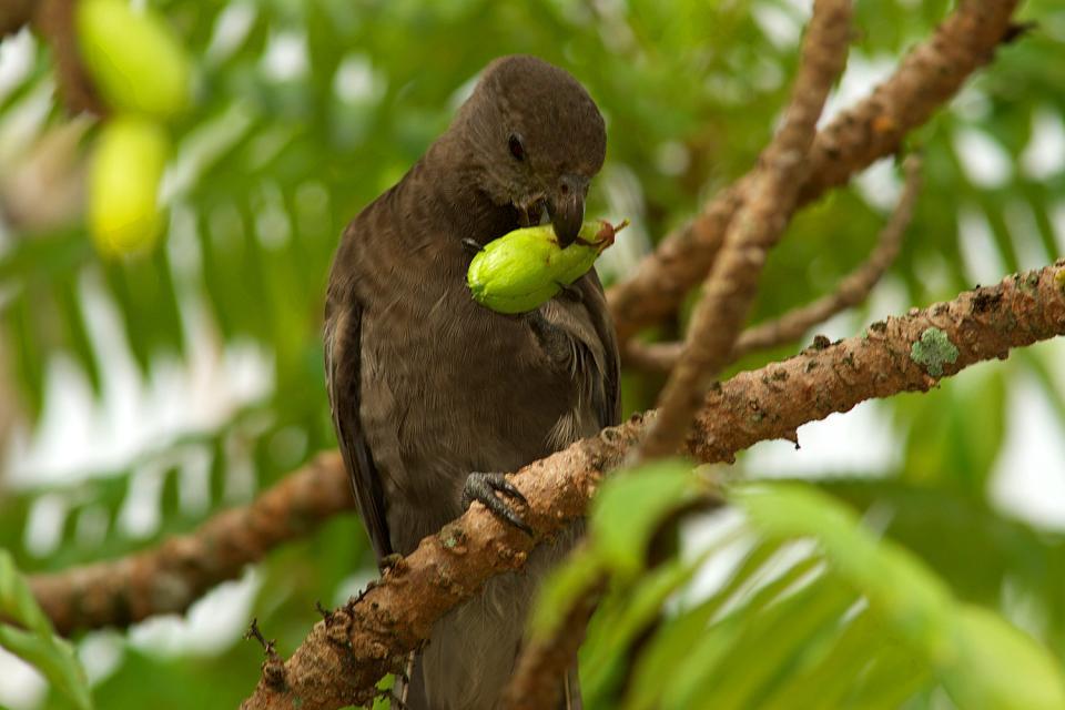 Gli uccelli , Il pappagallo nero , Seychelles