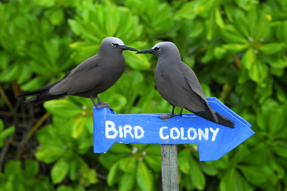 Gli uccelli , Brown Noddy a Bird Island , Seychelles