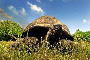 Les tortues , Esmeralda , Seychelles