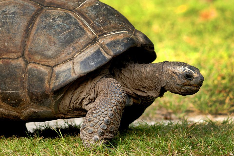 Le tartarughe , Le tartarughe giganti , Seychelles