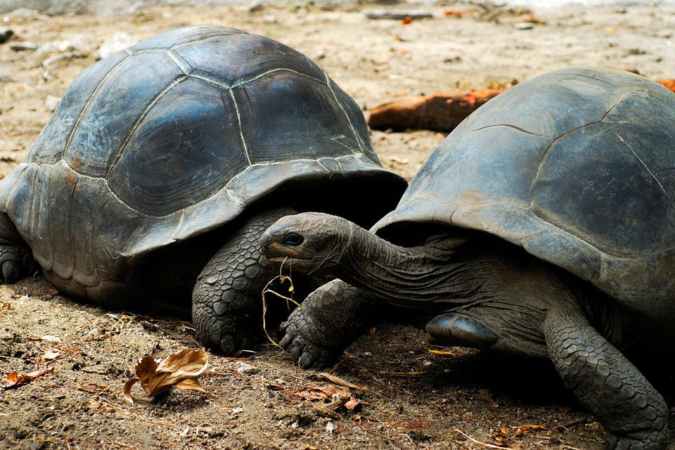 Le tartarughe , Una graziosa coppia , Seychelles