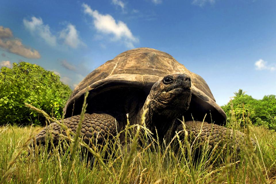 Le tartarughe , Esmeralda , Seychelles