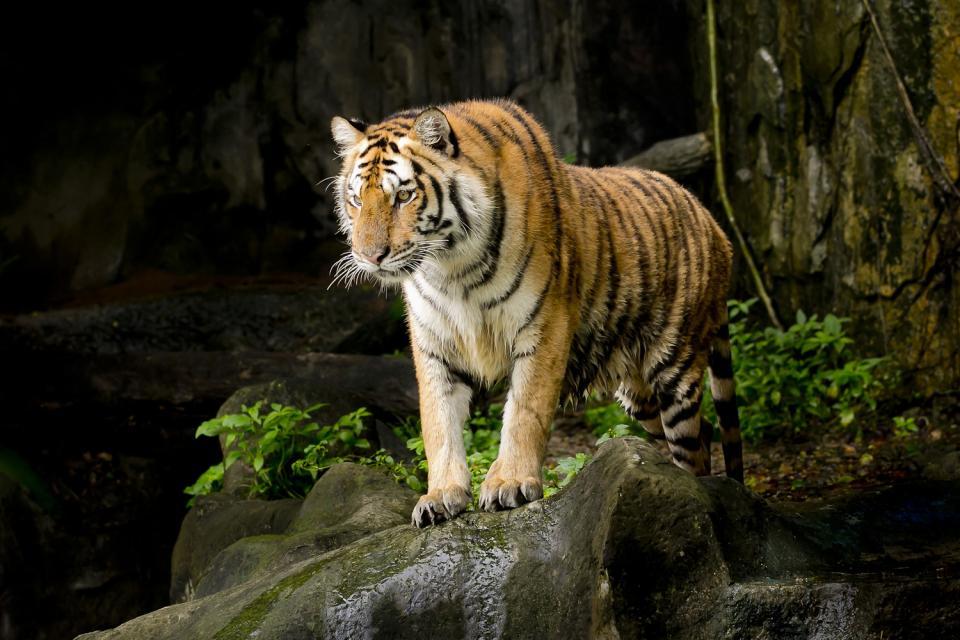 Le tigre Royal du Bengale , Bangladesh