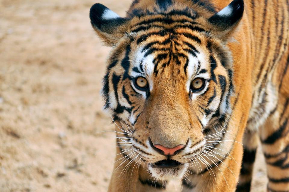 Le tigre Royal du Bengale , Spécimen de tigre du Bengale , Bangladesh