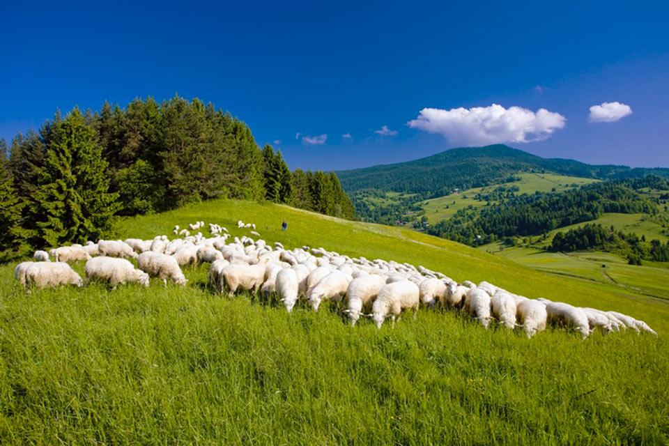 Wildlife , A flock of sheep , Slovakia