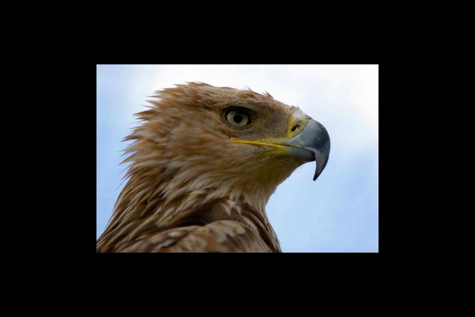 Wildlife , An Imperial Eagle , Slovakia