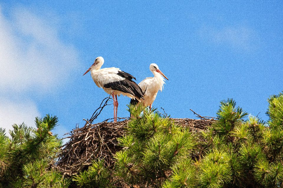 Storks , Slovenia