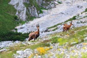 La fauna alpina , Alpes Julianos, Eslovenia , Eslovenia