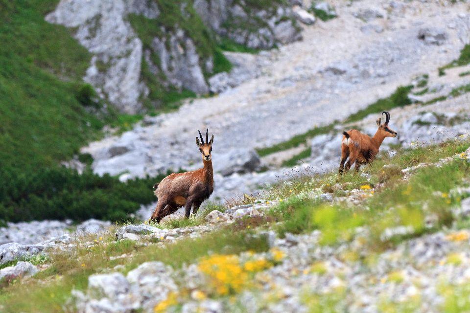 Alpine wildlife , The Julian Alps, Slovenia , Slovenia