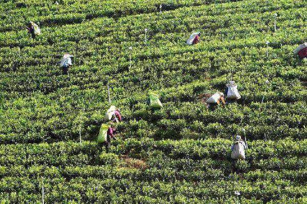 Les plantations de thé , Cueilleurs de thé , Sri Lanka