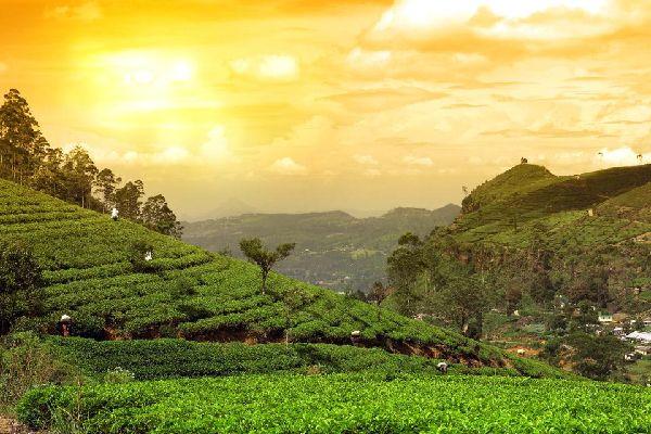 Les plantations de thé , Thé au Sri Lanka , Sri Lanka
