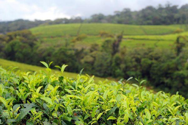 Les plantations de thé , Sri Lanka