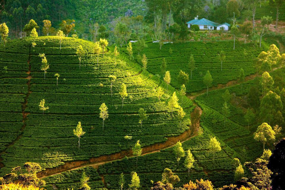 Tee-Plantagen , Die Teeplantagen von Sri Lanka , Sri Lanka