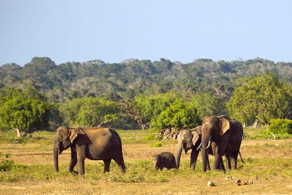 Les éléphants et les réserves , Sri Lanka