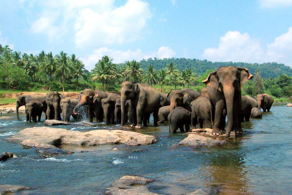 Les éléphants et les réserves , Les éléphants du Sri Lanka , Sri Lanka