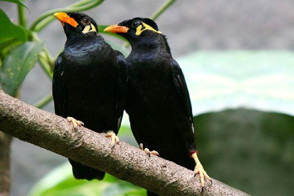 La gent ornithologique , Myna , Sri Lanka