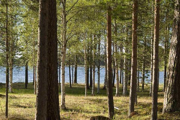 Forests , A birch tree forest, Sweden , Sweden