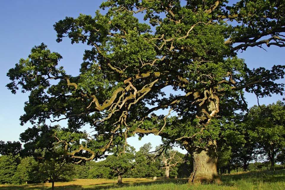 Le foreste , Una quercia imponente, Svezia , Svezia