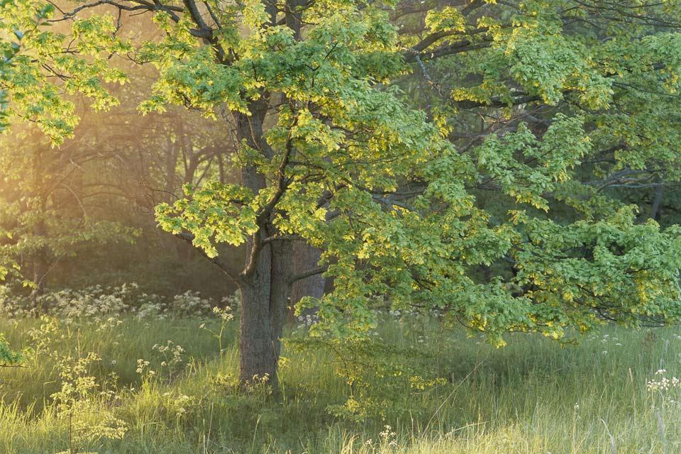 Le foreste , Giochi di luce, Svezia , Svezia