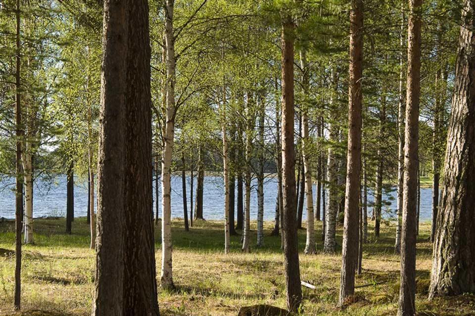 Le foreste , Una foresta di betulle, Svezia , Svezia