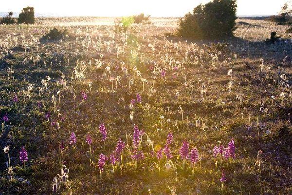 Die Flora der Tundra, die Orchideen  , Die Tundra, Schweden , Schweden
