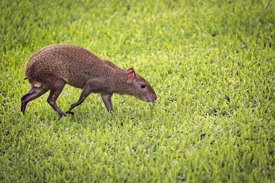 La faune et la flore, faune, animal, barbade, île, caraïbes, antilles, reserve, barbados wildlife reserve, rongeur, agouti