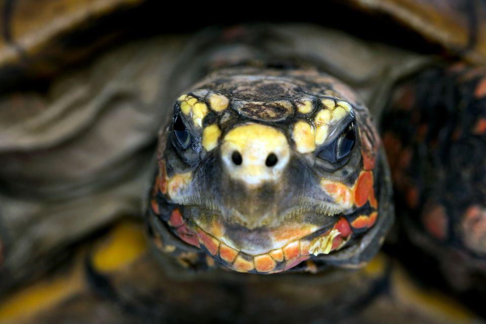 La faune et la flore, faune, animal, barbade, île, caraïbes, antilles, reptile, reserve, barbados wildlife reserve, tortue
