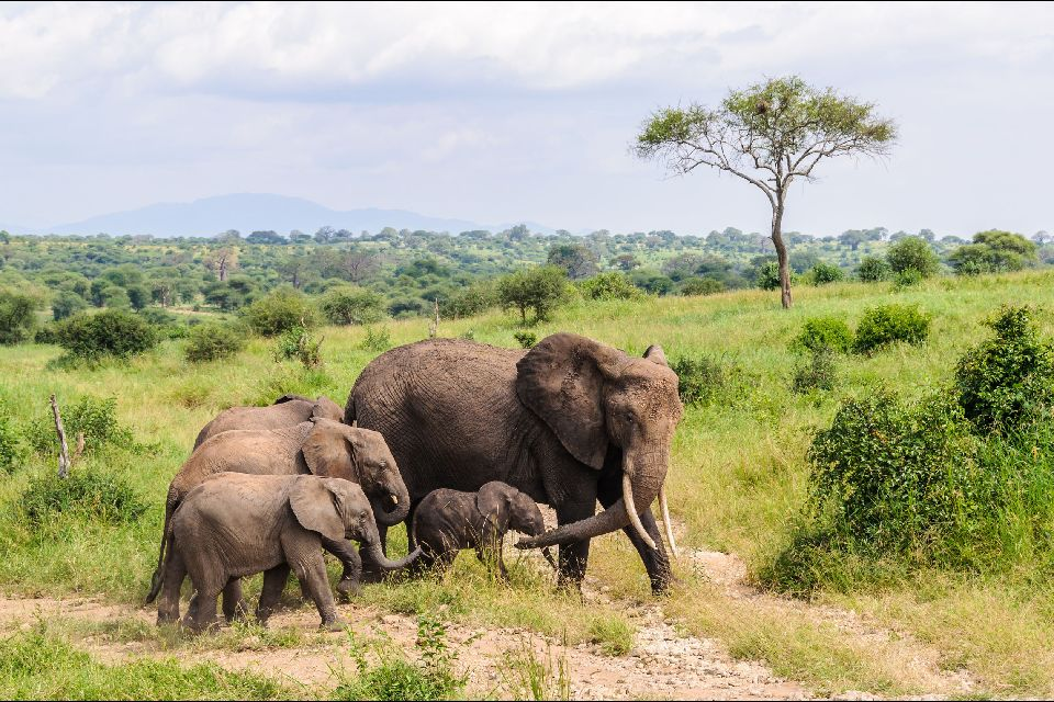 Les paysages du Nord , Elephants et baobabs en Tanzanie , Tanzanie
