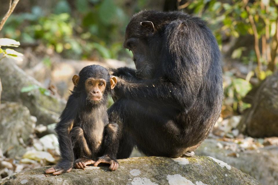 Les paysages du Sud , Chimpanzés en Tanzanie. , Tanzanie