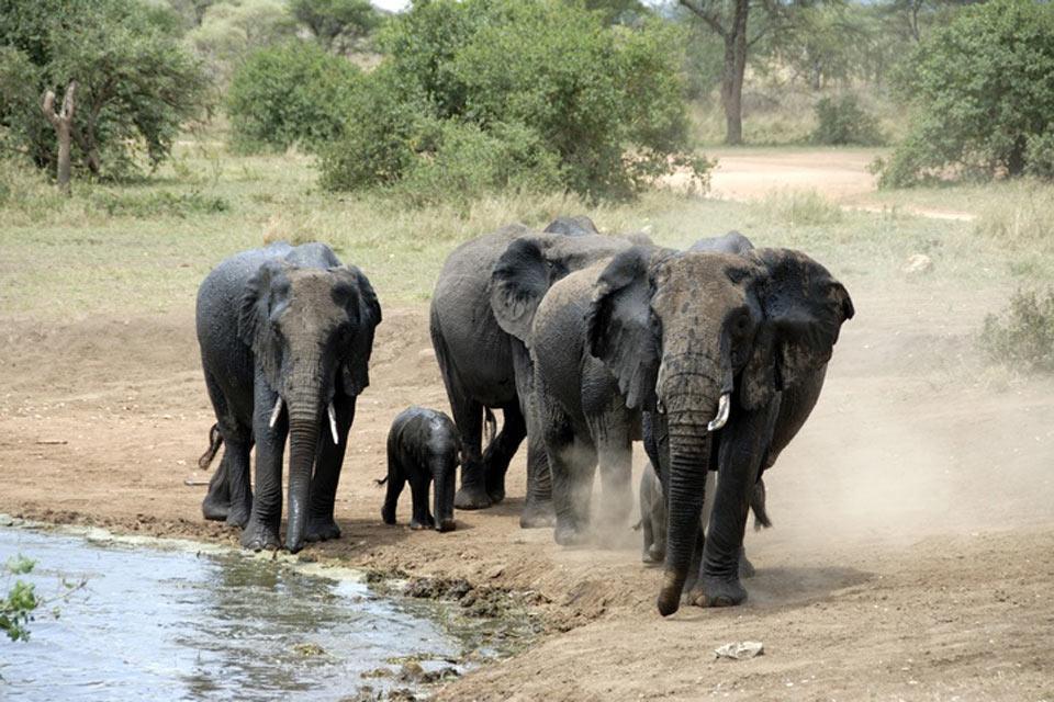 """Les réserves et les parcs , Les """"big 5"""" en Tanzanie , Tanzanie"""