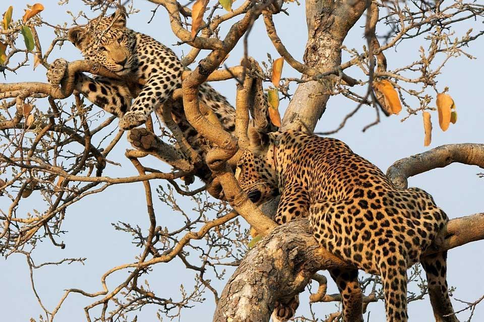 Les réserves et les parcs , Léopards en Tanzanie , Tanzanie