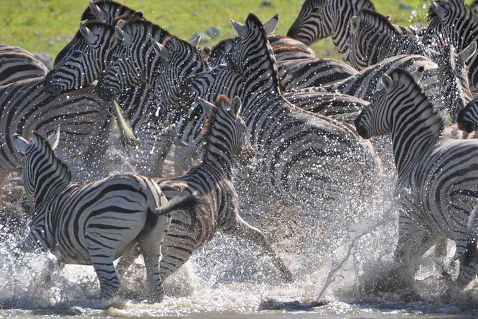 Les réserves et les parcs , Zèbres de Tanzanie , Tanzanie