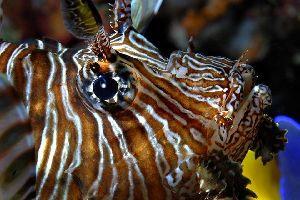 La faune aquatique , Un pterois volitans ou rascasse volante , Tanzanie