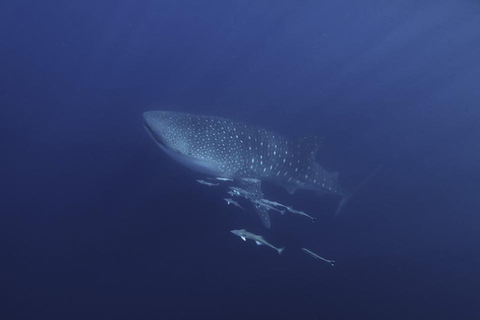 La fauna acuática , Tiburón ballena en el océano Índico , Tanzania