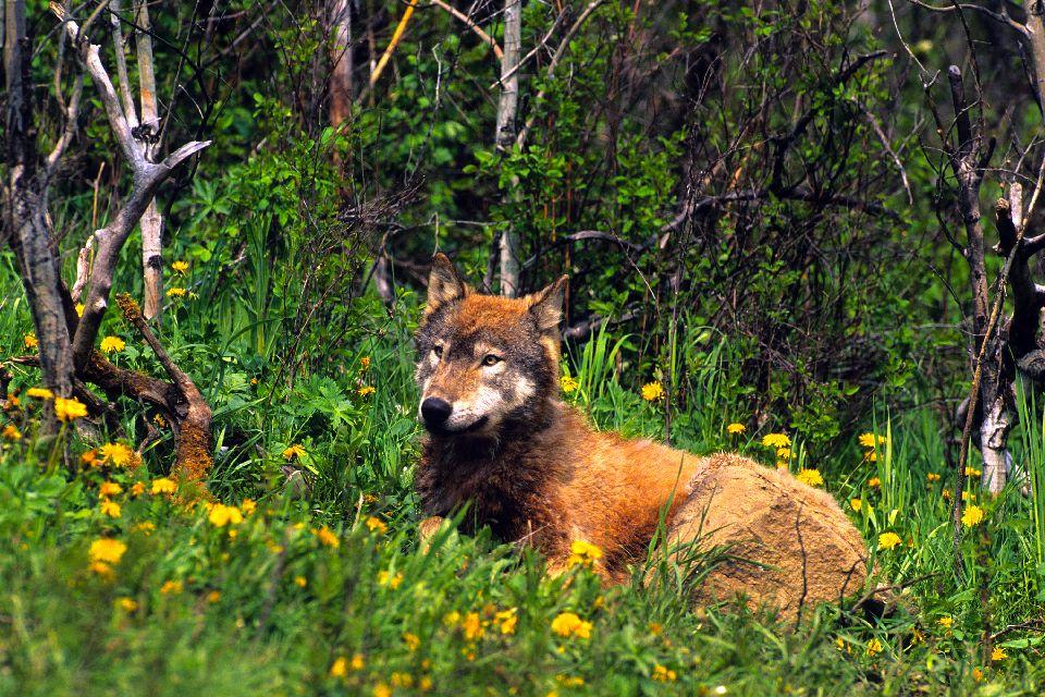 Il Parco nazionale di Lesse , Il lupo , Belgio