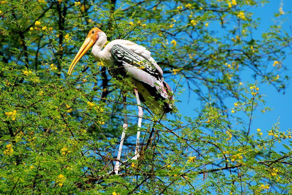 Le Parc National Mikumi , Marabou en Tanzanie , Tanzanie